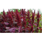 Amaranth red giant