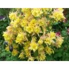 Aquilegia yellow
