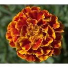 Marigold red-orange (low)