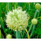 Welsh onion (Allium fistulosum)