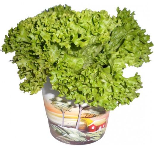 """Salad """"Curly"""""""