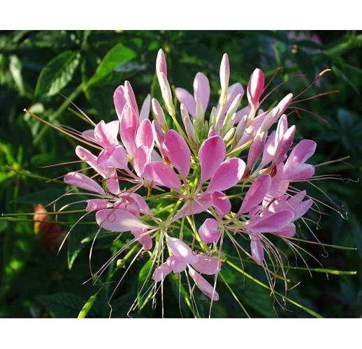 Spiderflower pink