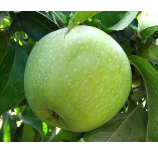 Apple Green (Large)