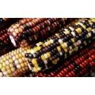 Corn Indian vericolored