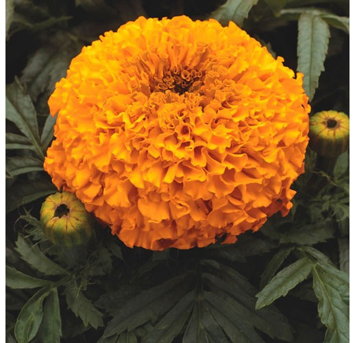 Marigold orange (low)