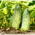 "Cucumber ""Fontanelle"""