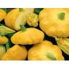Squash (patisson) yellow
