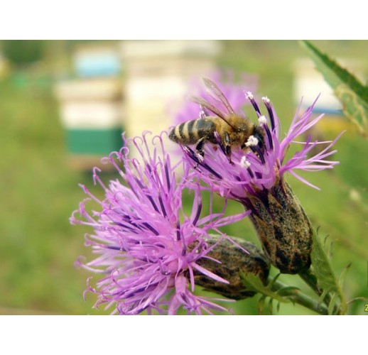 Saw-wort honey, 900 g