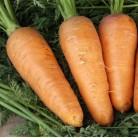 "Carrot ""Chantenay"""