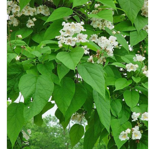Amur cork-tree honey, 900 g