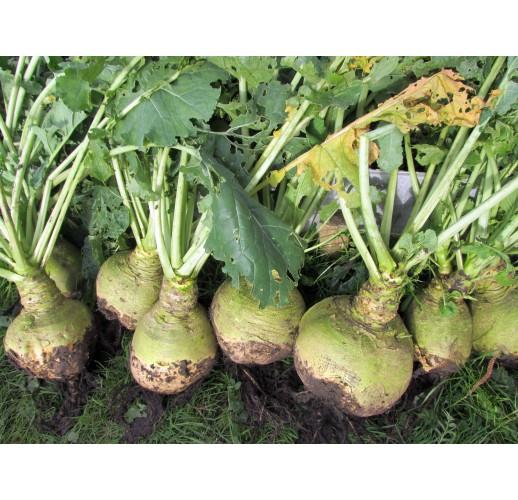 Turnip cabbage (rutabaga)