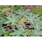 Castorbean (Ricinus communis)