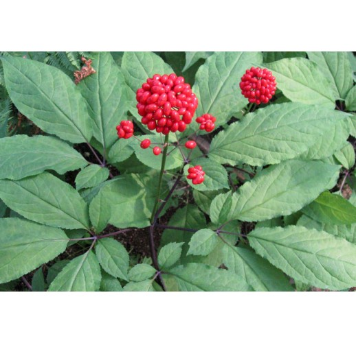 Ginseng seeds, (5 in a pack)