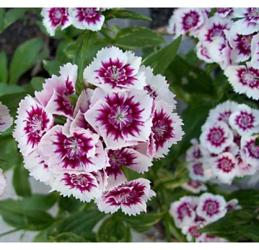 Sweet-william (dianthus barbatus)
