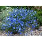 Flax blue
