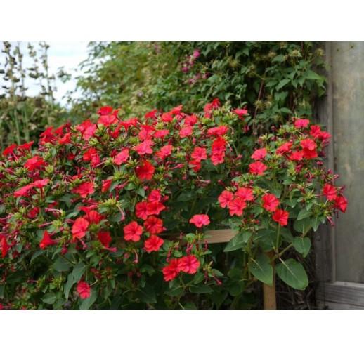 Mirabilis red