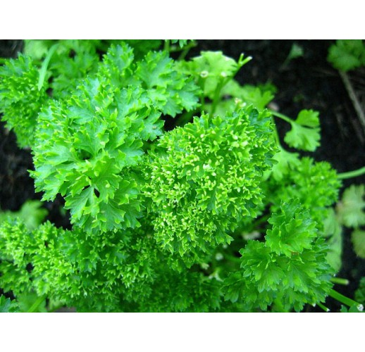 Parsley curly-leaf