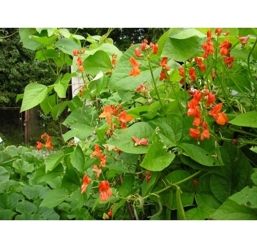 Red beans climbing