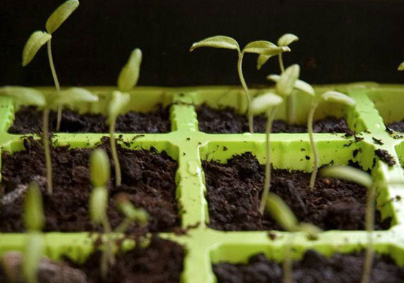 How to grow from seeds and seedlings