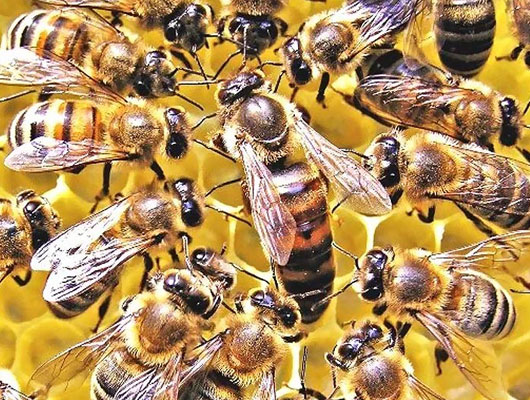 Bacteria help to increase bees productivity
